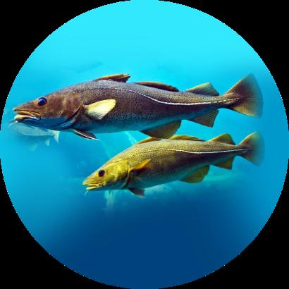 คอลลาเจนจาก ปลาค็อดธรรมชาติ มหาสมุทรแปซิฟิกเหนือ